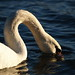 Small photo of Swan song