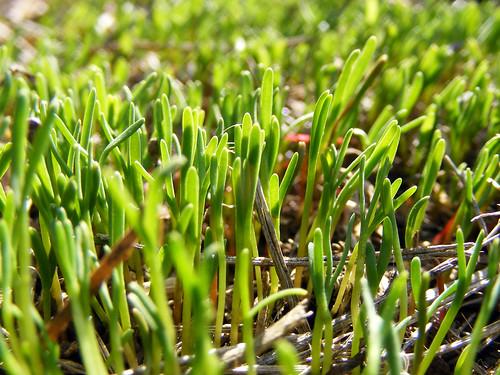 new macro green grass tiny micro signsofspring newgrowth springgreen bladesofgrass newbeginnings babygrass littlebitsofhappy futurelawn