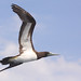 Brown Booby - Photo (c) Marj Kibby, some rights reserved (CC BY-NC)