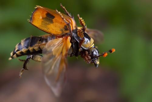 macro studio insect beetle flight contact mites coleoptera silphidae nicrophorus insectactivity acarina buryingbeetle mesostigmata