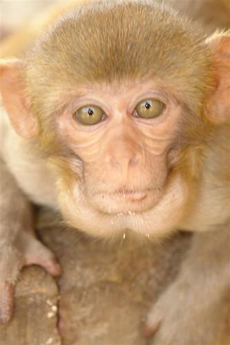 Mono de la india Galwar Bagh, el templo de los Monos de Jaipur - 4171805241 729d0bff4b - Galwar Bagh, el templo de los Monos de Jaipur