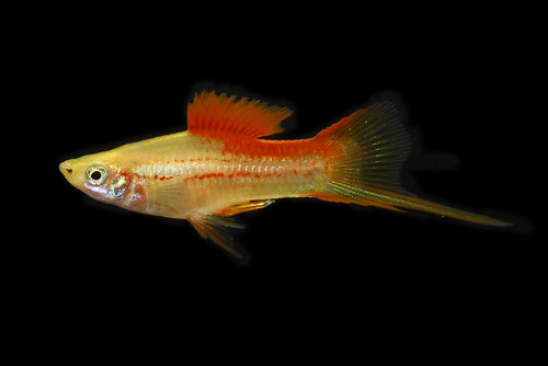 Keeping and Breeding The Swordtail Fish | Fish Keeping and ...