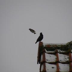 moineau et étourneau  / sparrow and starling