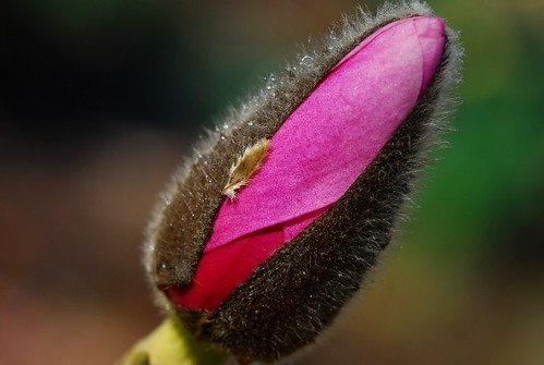 Spring flower and colours, A Magnolia flower bud unfolding