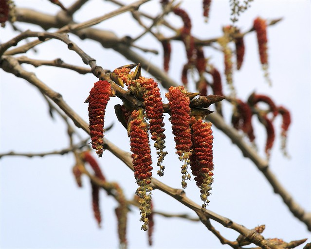 catkins flowering trees a gallery on flickr