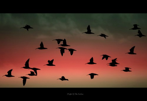 FLIGHT OF THE CURLEW