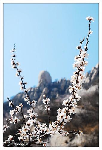 图:凤凰岭上的山桃