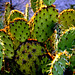 Pancake Prickly Pear Cactus by Desert Rambler