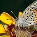 lupine blue on chocolate flower -- Plebejus lupini texanus by bugeyed_G