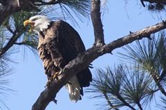 St. Petersburg American Bald Eagles