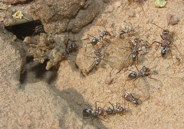 Silver ants (Cataglyphis bombycinus)