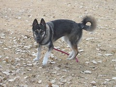 Norwegian Elkhound Siberian Husky Mix