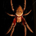 Eriophora - Photo (c) Curtis Morton, some rights reserved (CC BY-NC-ND)