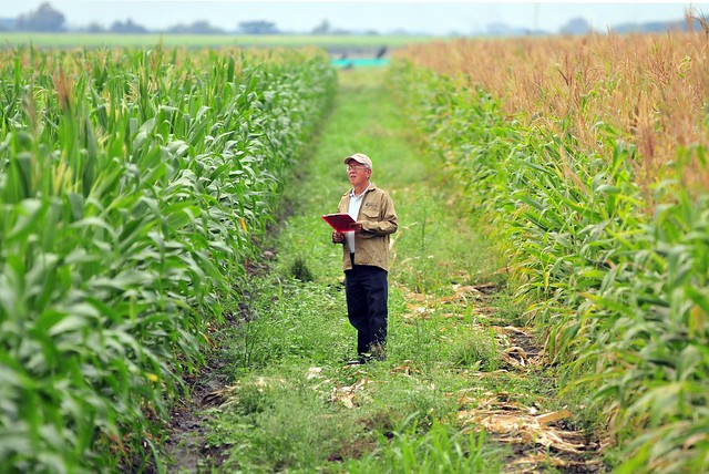 biofortified maize3
