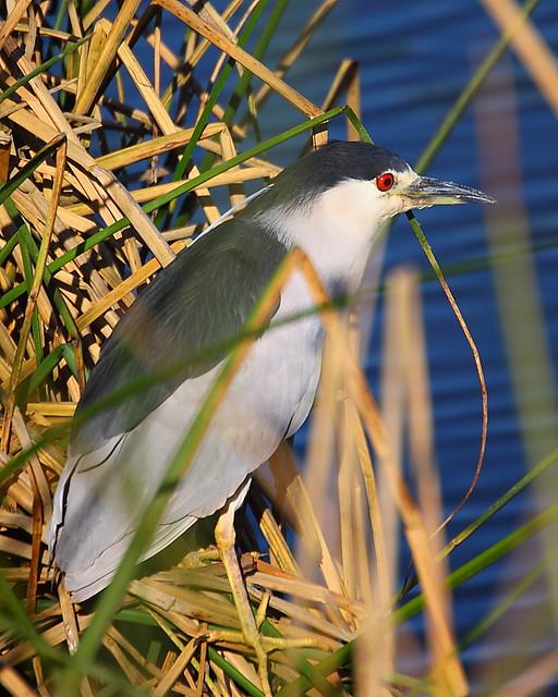 IMG_7443 Black-Crowned Night Heron