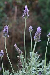 lavandula stoechas(0.0), wildflower(0.0), dactylorhiza praetermissa(0.0), lavandula dentata(1.0), flower(1.0), english lavender(1.0), plant(1.0), lavender(1.0), lavender(1.0), herb(1.0), flora(1.0),