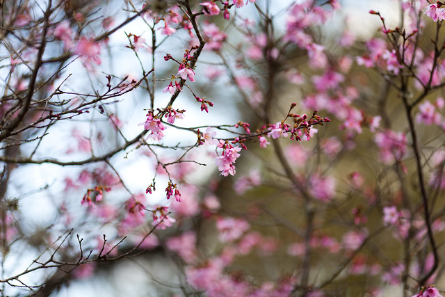 cherry tree singles Cherry trees are often confused with peach and plum trees, but it's not difficult to identify cherry trees if you know what you're looking for it's easiest to spot a cherry tree in the spring when it is in full bloom, or in.