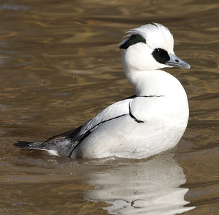 Male Smew Up From A Dive