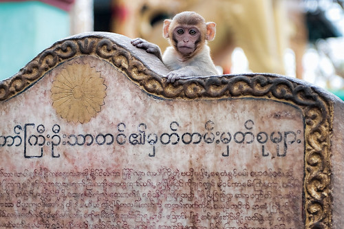 Mount Popa Monkey
