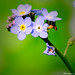 Spring Time Wild Flower -->Forget-Me-Nots