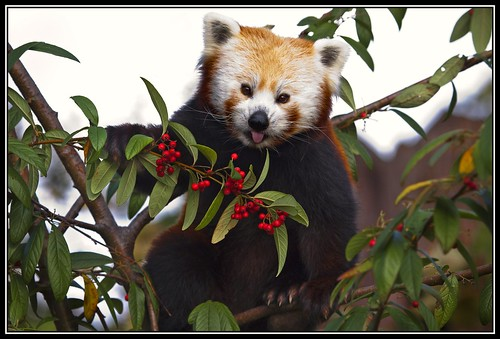 red zoo panda chester