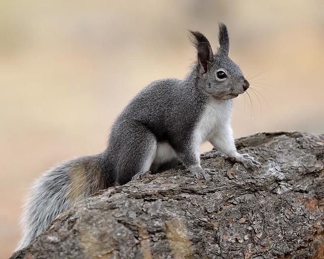 Abert's Squirrel | Flickr - Photo Sharing!