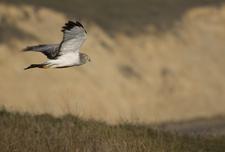 Northern Harrier | by canorus