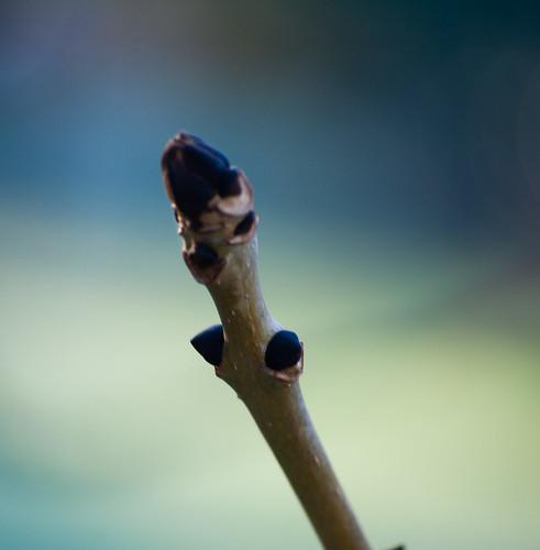Ash buds