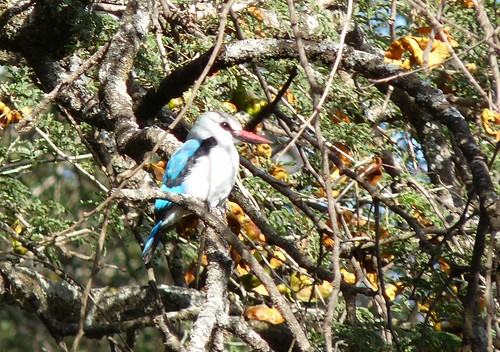 Woodland Kingfisher - Lake Awasa 2