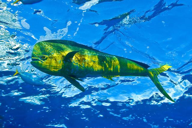 5710064130 d3392aecef for Dolphin deep sea fishing