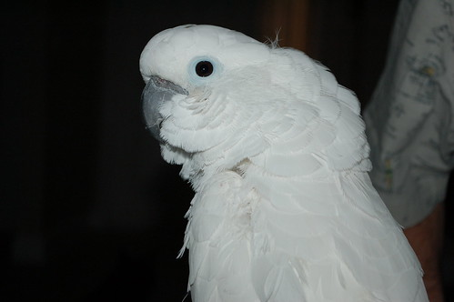 Umbrella Cockatoo Bite