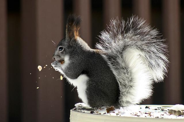 Long Eared Squirrel Abert's squirrel  flickr