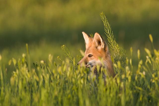 Zorro rojo entre la vegetación. Saskatchewan, Canadá.