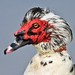 Muscovy Duck by steve happ