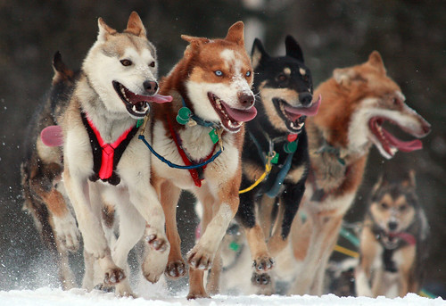 The look of sheer determination - 2010 Iditarod Ceremonial start in Anchorage, Alaska