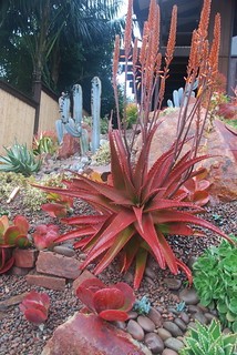 Red Aloe in Encinitas Garden