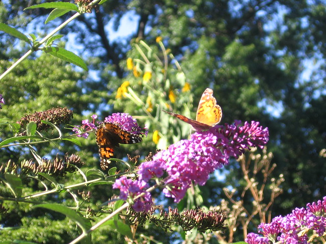 Butterfly bushes (Buddleja davidii) attract painted lady butterflies along the Butterfly Border. Photo by Monika Hannemann.