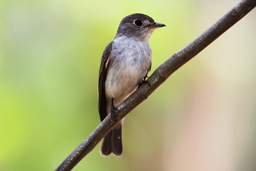Asian Brown flycatcher - Explored 186