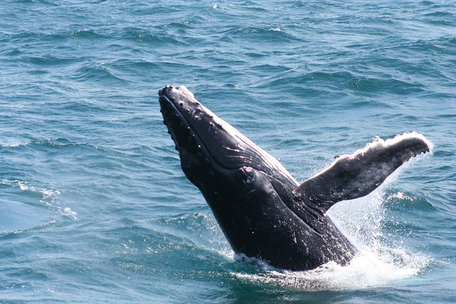 Baby humpback whales - photo#19