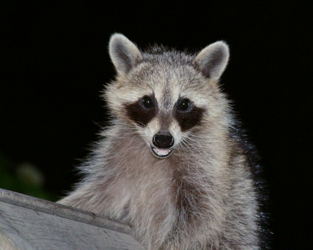 Raccoon Face | This raccoon came to eat some birdseed one ni