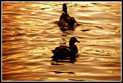 sunset water duck waves ducks floating ripples waterfowl