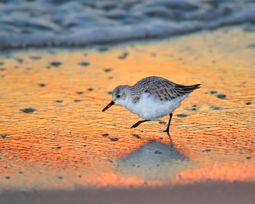 sunset wild reflection bird beach gulfofmexico nature wet animal sand nikon waves florida wildlife flash running atlantic shore ave handheld peep fl ornithology avian panhandle 2010 sanderling shorebird d300 sb800 floridapanhandle 300f4 strobist specanimal animalkingdomelite kenko14x