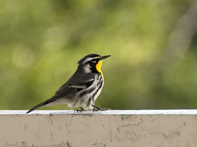 Yellow Throated Warbler, Sulgrave Manor, Cable Beach, Nassau, Bahamas