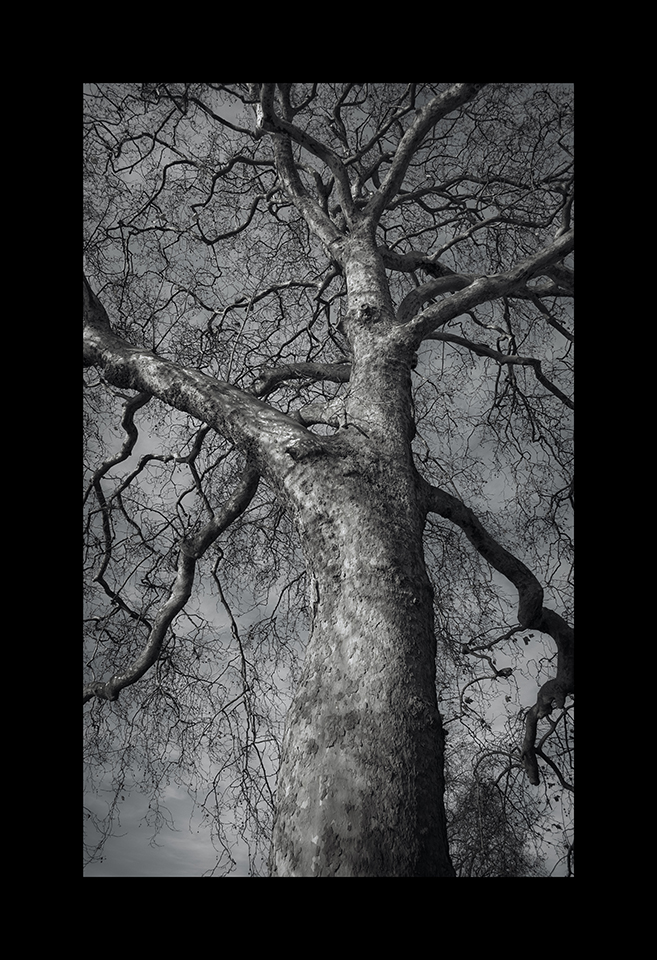 Photography: Platanus Hispanica by Nicholas M Vivian