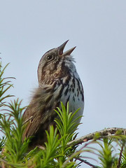 "Song Sparrow - ""Oh, what a beautiful morning . . ."""