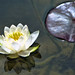 The Water Lily by *Lynne