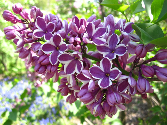 Syringa vulgaris 'Sensation', a beautiful bi-color lilac blooms today along with 150 other specimens in the Louisa Clark Spencer Lilac Collection at BBG. Photo by Rebecca Bullene.