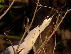 black-crowned-night-heron-seizing-branch