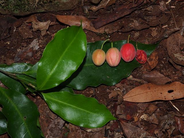 Fontainea australis Fruit