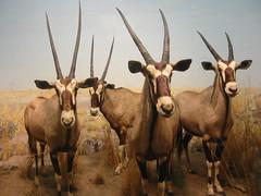 goats(0.0), animal(1.0), antelope(1.0), gemsbok(1.0), mammal(1.0), horn(1.0), herd(1.0), fauna(1.0), oryx(1.0), wildlife(1.0),